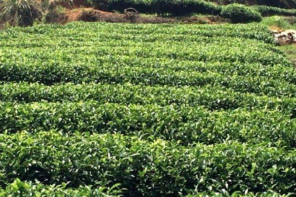 Плантация чая горного региона Вуй в провинции Фуцзянь