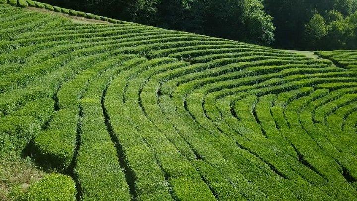 Плантация чая недалеко от Сочи