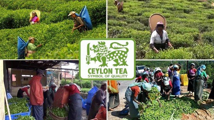 Сбор чая в Шри-Ланке