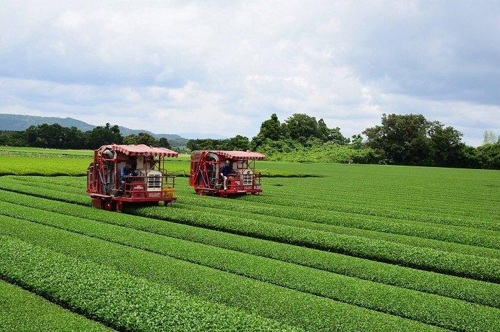 Сбор сенча в Японии