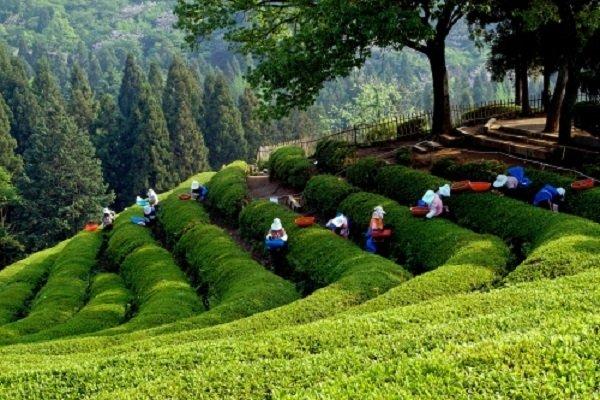 Сбор чайного листа в Корее