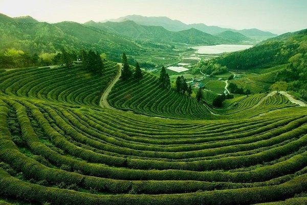 Террасная плантация чая в Корее