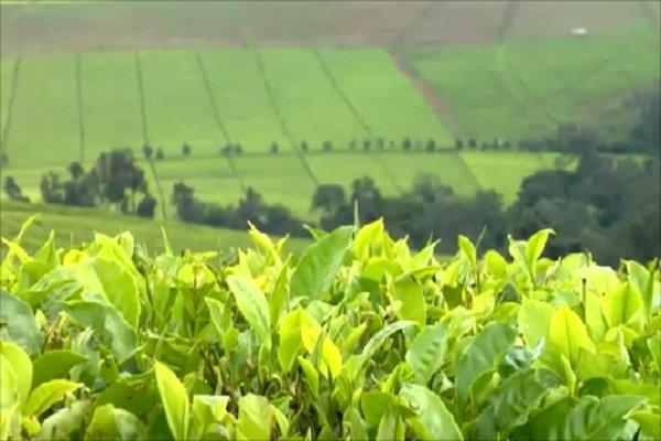 Чайная плантация в Кении