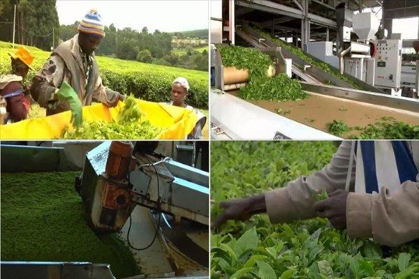 Производство чая в Кении