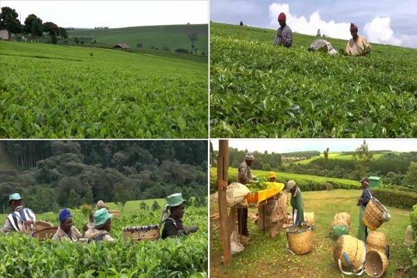Сбор чайных листьев в Кении