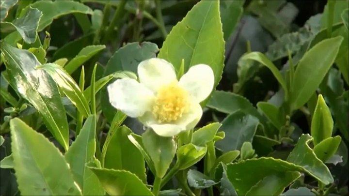 Камелия китайская - чайный куст