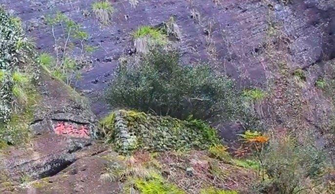 Четыре самых старых и знаментитых куста Да Хун Пао