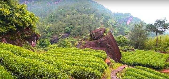 Плантация чая в горах Уи