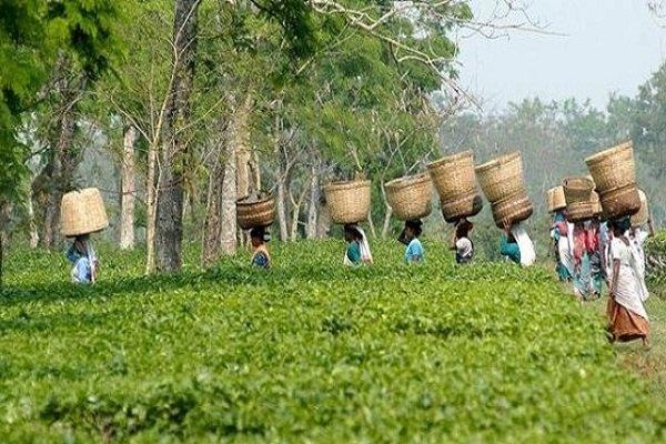 Плантация чая ассам в Индии