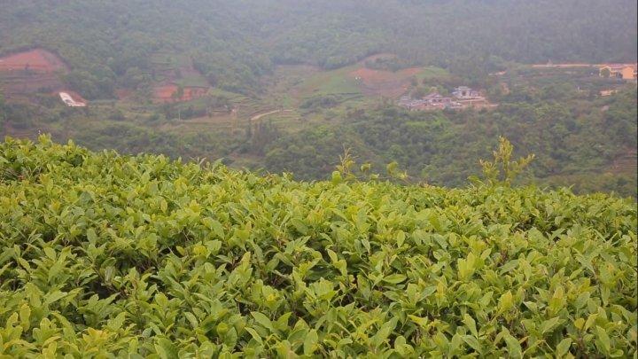 Плантация, где собирают чай для сорта белый пион