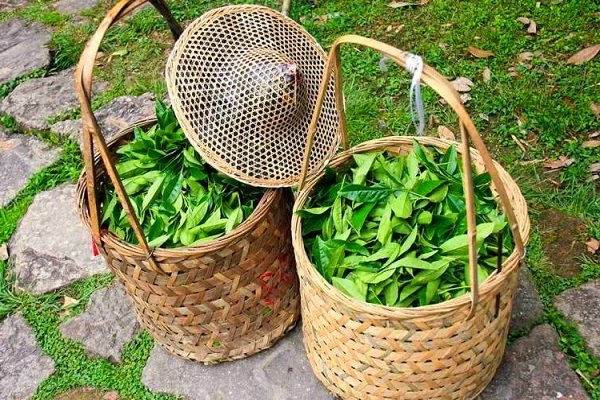 Собранный чайный лист в корзинах