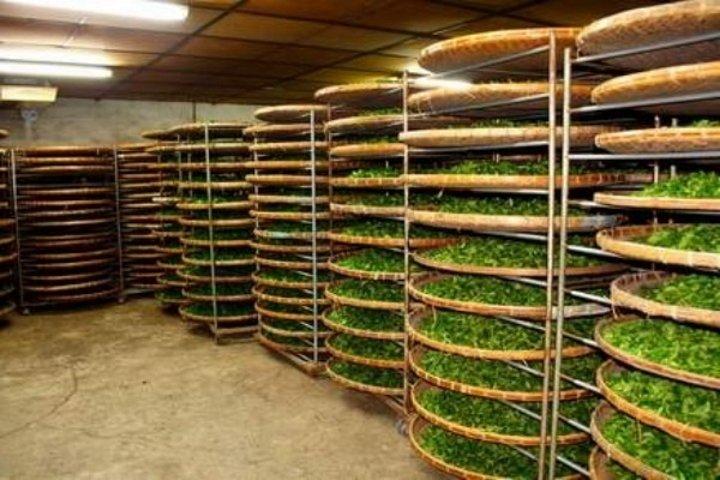 Процесс завяливания чайного листа