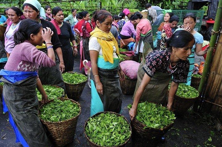 Индийские женщины сдают собранный чай