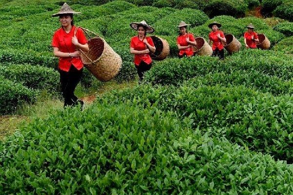 Чайная плантация в провинции Фуцзянь