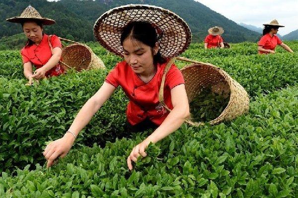Сбор чайного листа в провинции Фуцзянь