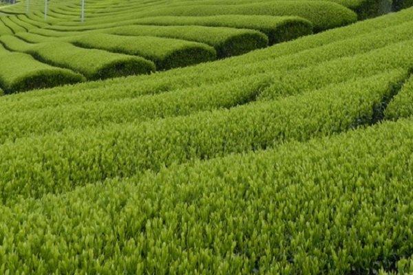 Чайная плантация в Японии