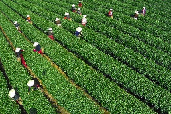 Сбор чайного листа в китайской в провинции Чжэнзян