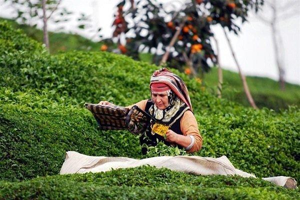 Сбор чайных листьев в Турции