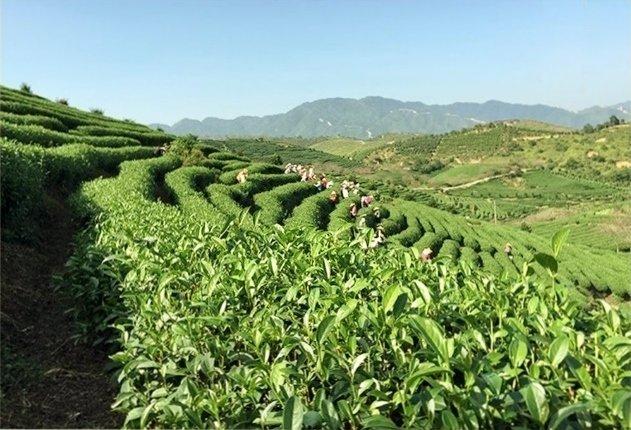 Плантация чая. Сбор листьев
