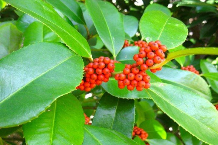 Листья падуба китайского широколистного